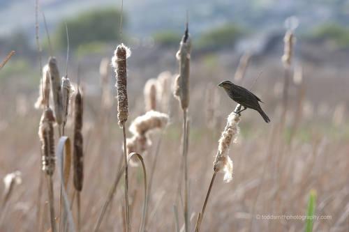 bird on cattail
