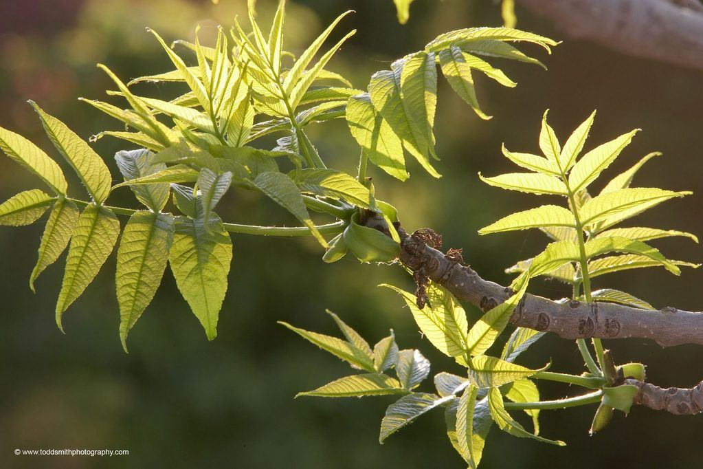 Compound leaves of an ash tree