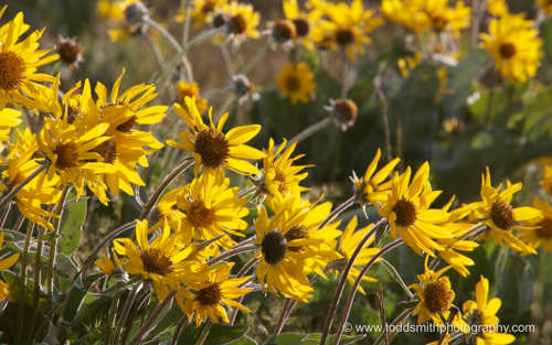 balsamroot flowers