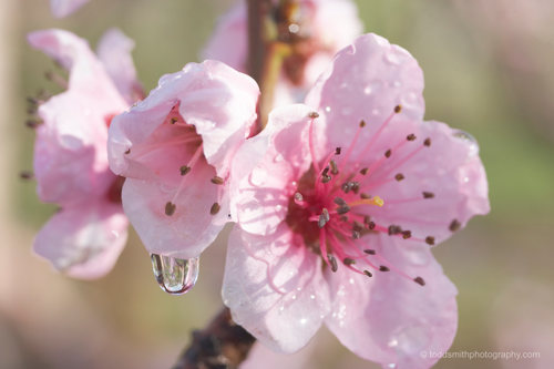 peach flower with water droplet