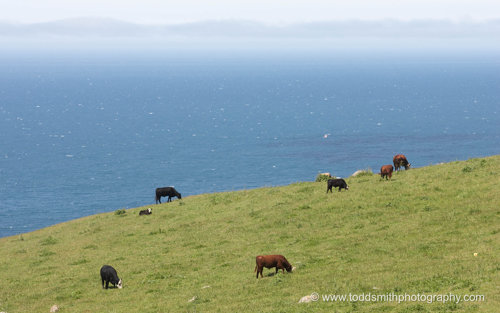 cows by the ocean