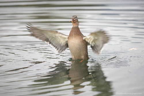 duck flapping its wings