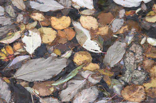 dead leaves in water