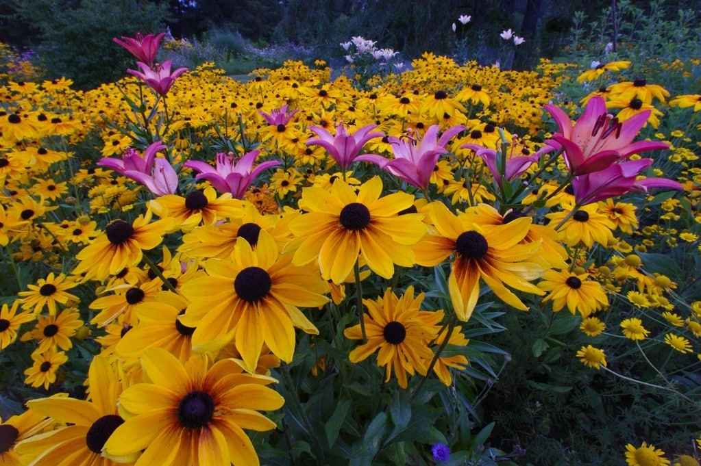 Brown-eye-Susans and lilies in a summer garden. What is meant by the practice of gardening? The gardener shows up regularly to keep it looking beautiful.