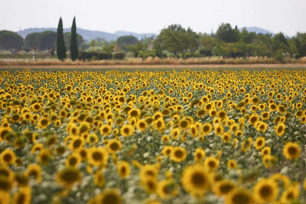 A field of sunflowers near Saint-Rémy-de-Provence, where Vincent Van Gogh lived.