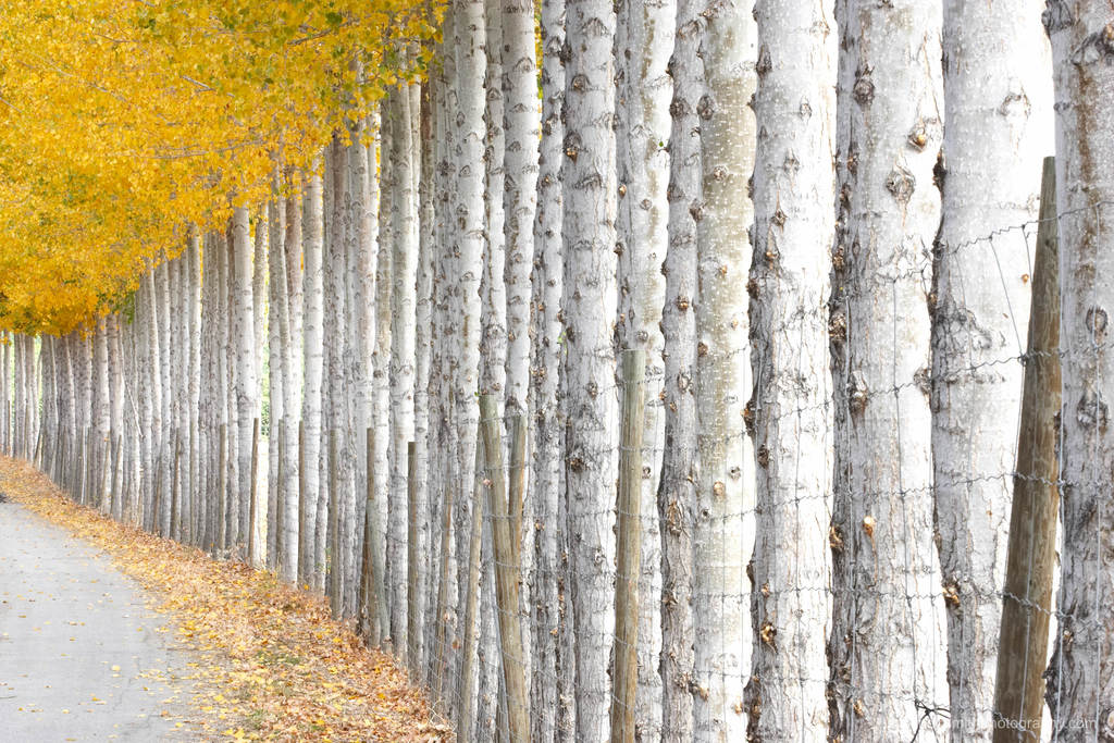 a perfect row of aspen trees