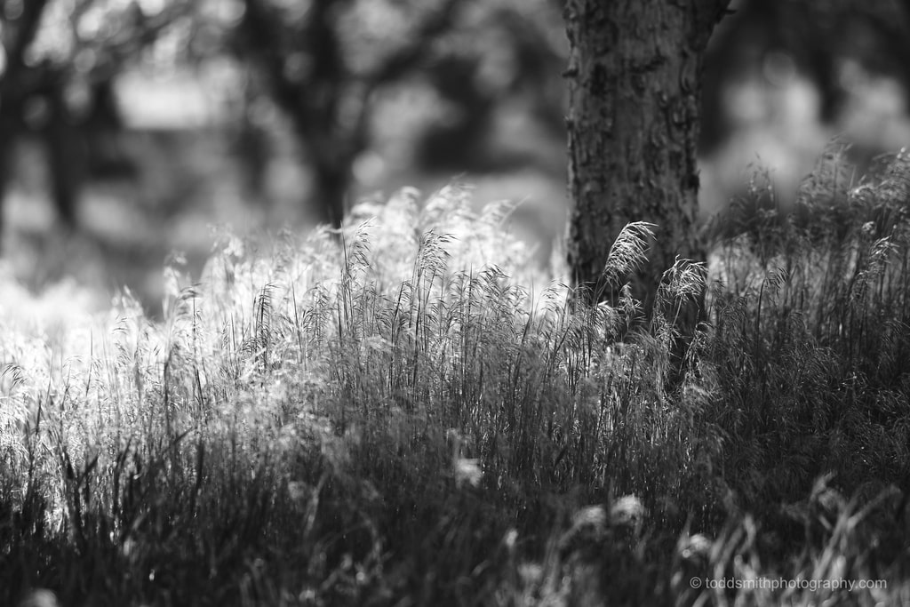 black and white photo of long grass under a tree
