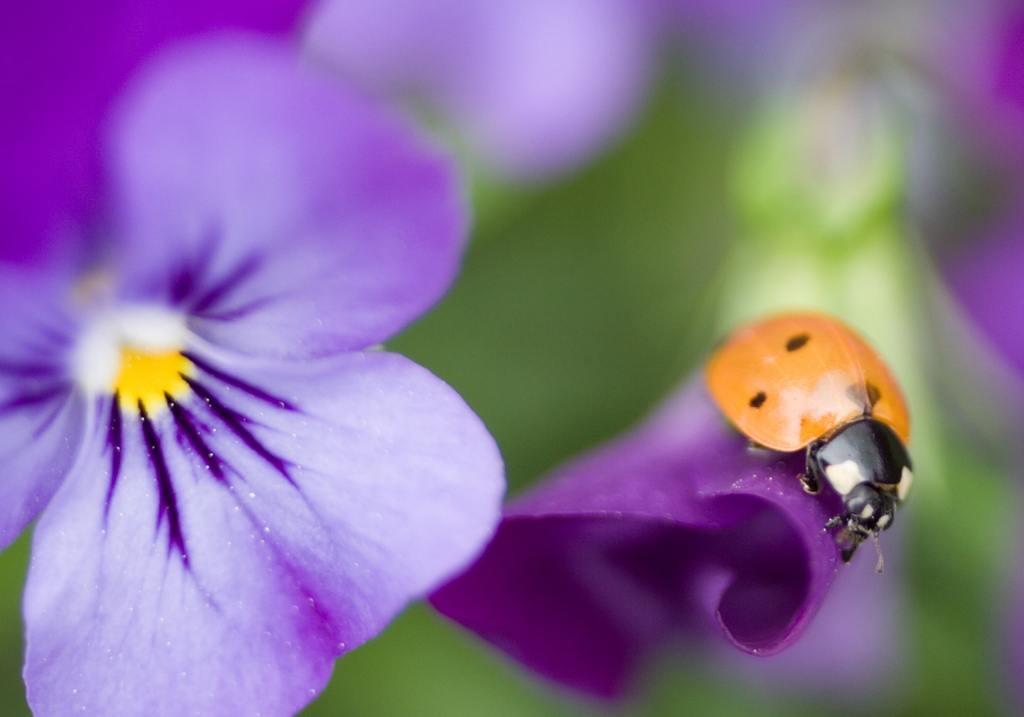ladybug on a violet
