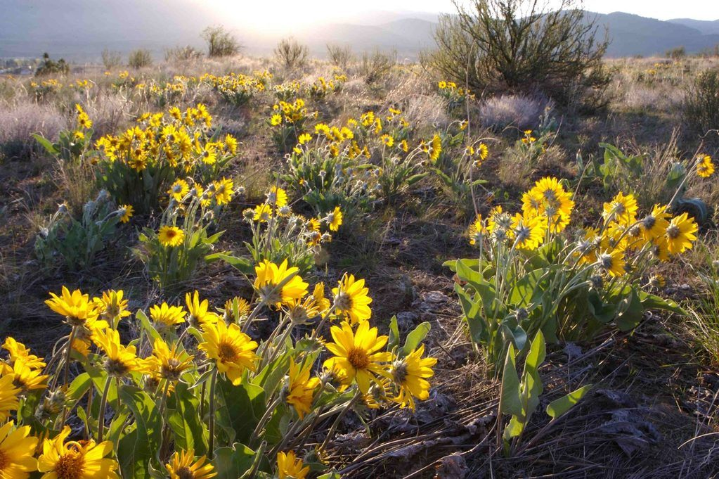 balsamroot flowers on the mountainside