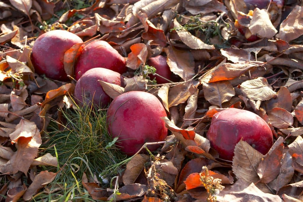 apples fallen on the ground