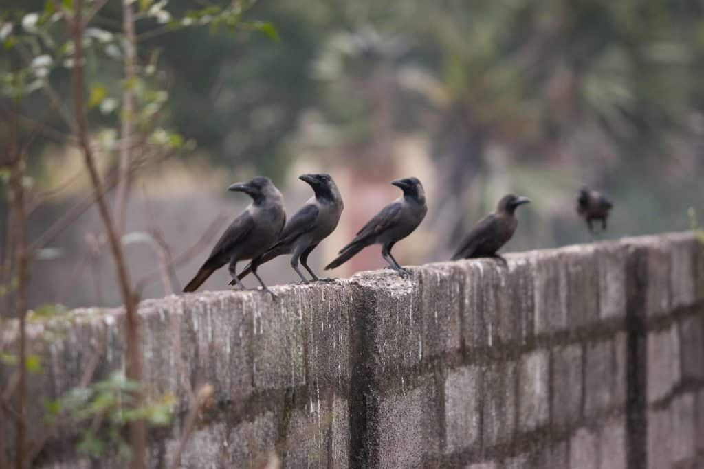 Crows looking a me from their perch