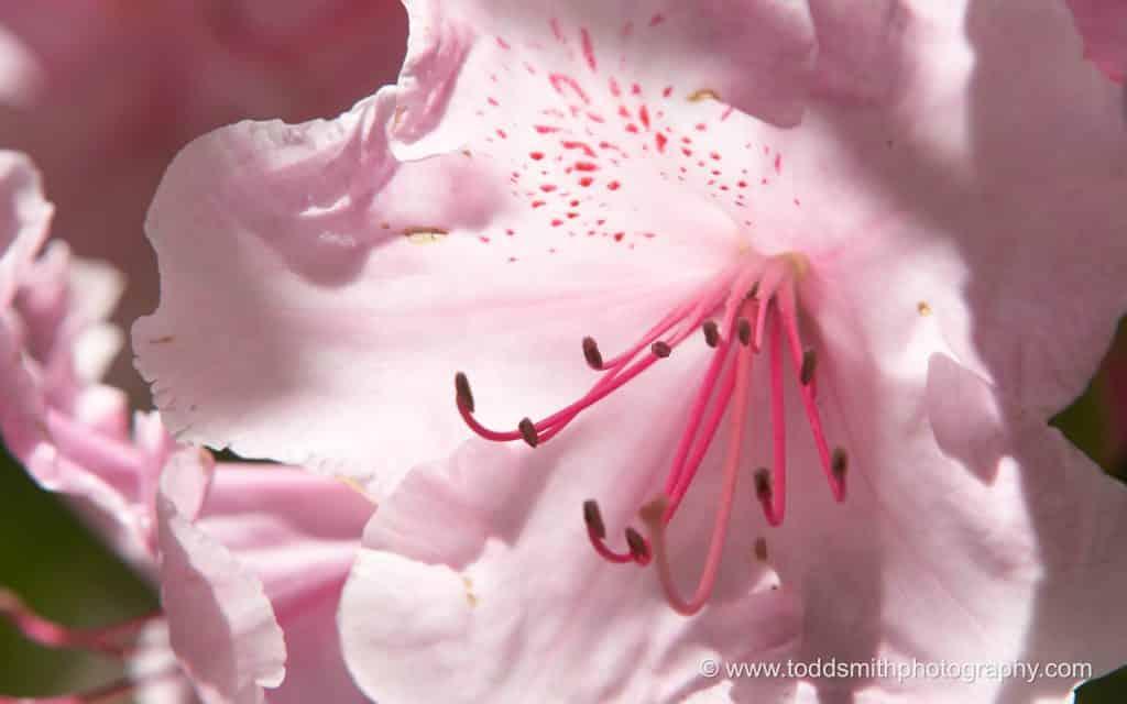 A backlit azelia blossom