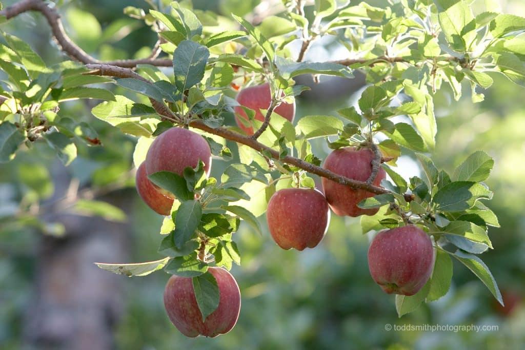 apples on the treee